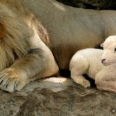 Lion and Lamb-1