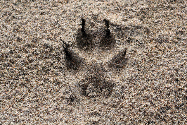 Coyote Paw Prints Apexwallpapers Com